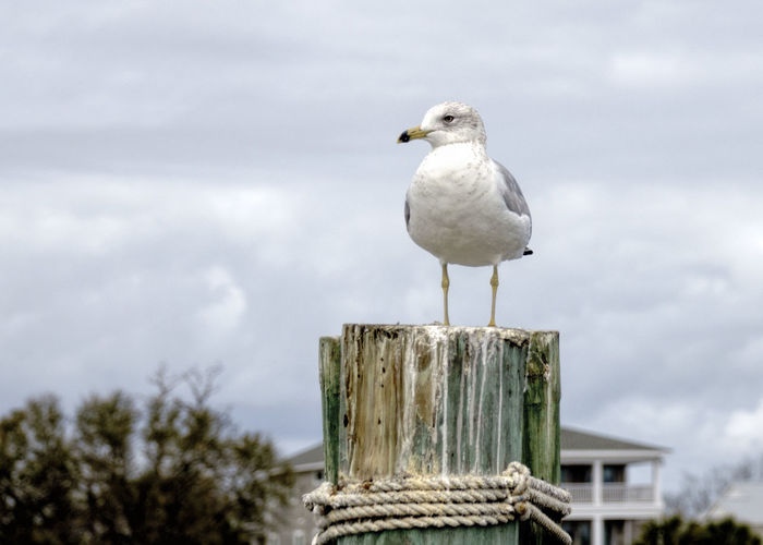 Just chillin' Animal Wildlife Bird Cloud - Sky Clouds And Sky Coastal Living Nature No People Perching Seagull Seagull On Post Sony Lover Wooden Post