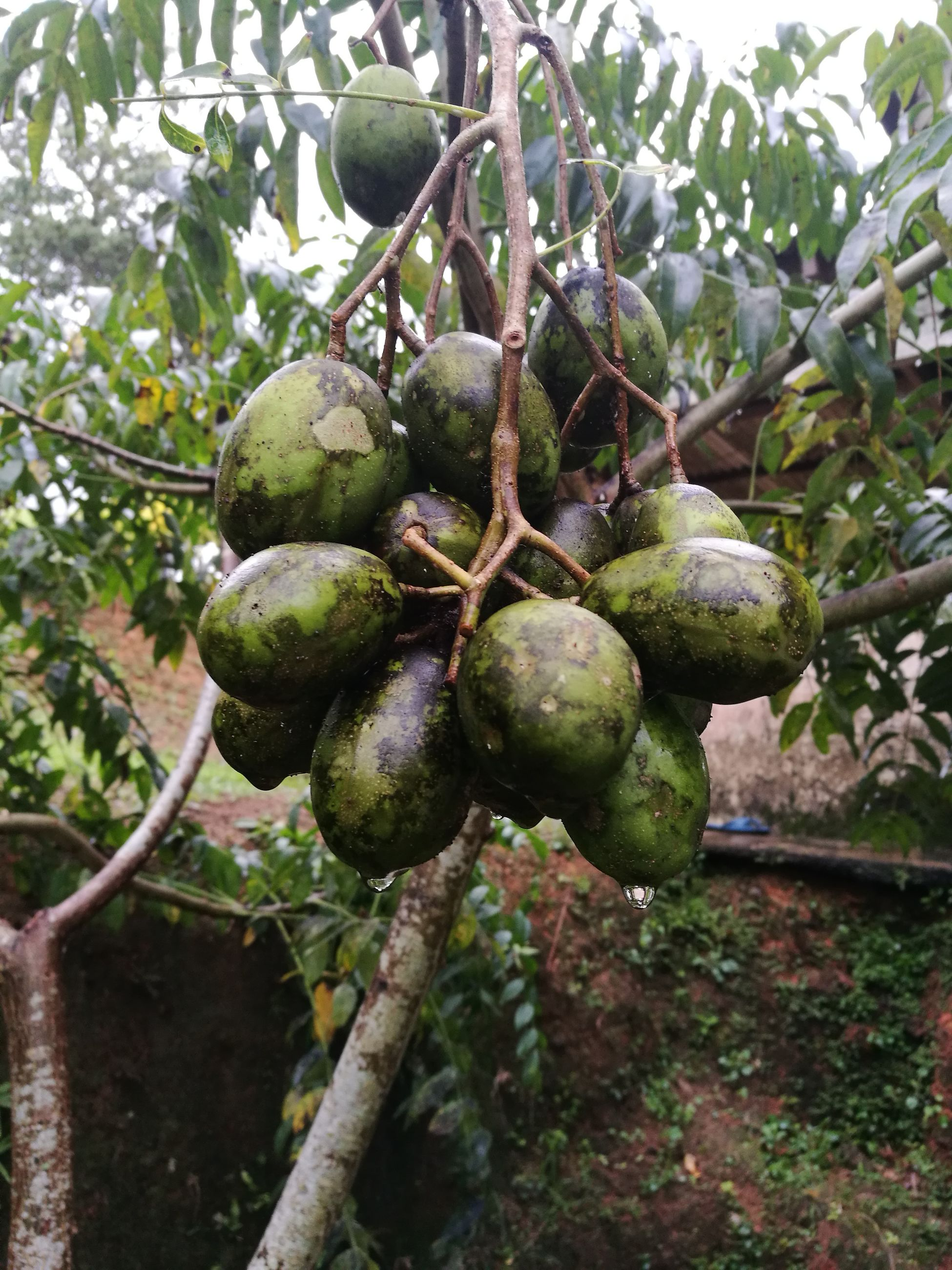 tree, fruit, growth, branch, green color, close-up, food and drink, freshness, healthy eating, nature, no people, food, fruit tree, outdoors, agriculture, beauty in nature, leaf, low angle view, unripe, day