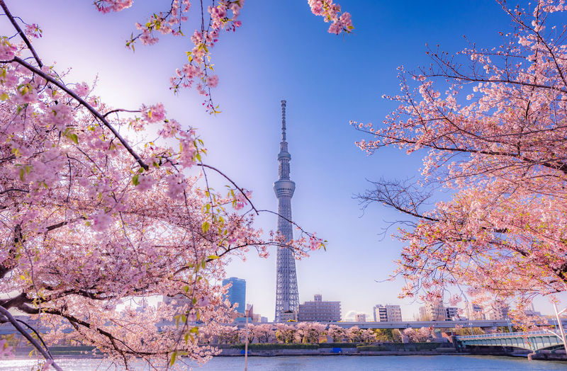 Tokyo sky tree seen from cherry blossom branches against blue sky