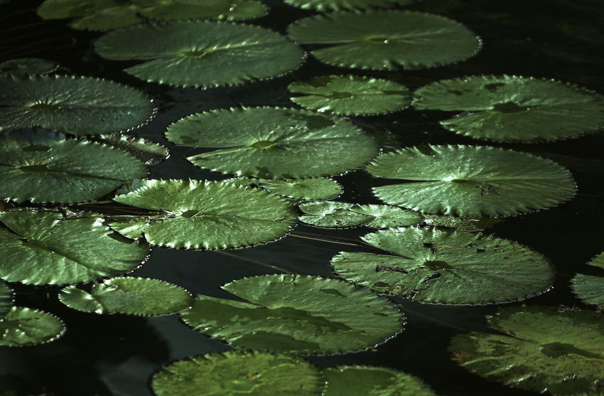 Beautiful lotus leaf at the lake Beauty In Nature Close-up Day Floating Floating On Water Freshness Green Color Growth High Angle View Lake Leaf Leaves Lotus Water Lily Nature No People Outdoors Plant Plant Part Water Water Lily