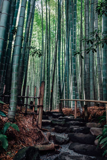 Bamboo forest in Kamakura Japan Bamboo Grove Bamboo Tree... Forest Path Green Green Color Japan Japan Photography Japanese  Japanese Garden Kamakura Kamakura Japan Travel Travel Photography Traveling Bamboo Bamboo - Material Bamboo - Plant Bamboo Forest Forest Forest Photography Forest Trees Forestwalk Green Bamboo Tranquil Scene Travel Destinations