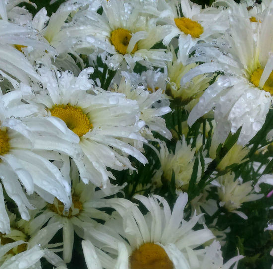 Catching the raindrops III Beauty In Nature Blooming Chrysanthemum Close-up Daisies, Nature Day Flower Flower Head Fragility Freshness Garden Garden Photography Growth Nature No People Outdoors Petals Of Flowers Pistils Of Flowers Ranidrops Stems White Color Yellow