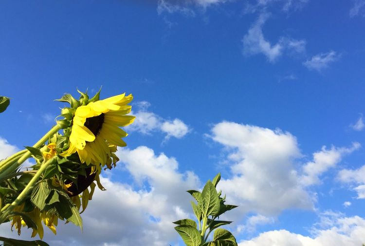 Low Angle View Of Sunflowers Against Cloudy Sky
