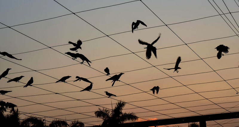 Feather Motion Crows Dancing Shadows Face Up Feathers Motion Perching Power Cable Sillouette Sunlight Twilight Nritzz