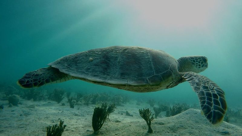 Turtle Sea Turtle Animals In The Wild Reptile Sea Life Underwater UnderSea One Animal Animal Wildlife Animal Themes Swimming Sea Animal Shell Tortoise Water Nature No People Tortoise Shell Endangered Species Day