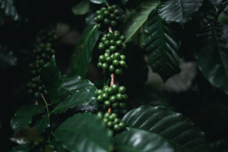 Wild coffee Arabica Dark green coffee In nature Agriculture Beauty In Nature Berry Fruit Close-up Day Food Food And Drink Freshness Fruit Green Color Growth Healthy Eating Leaf Nature No People Outdoors Plant Plant Part Plantation Ripe Selective Focus Unripe Wellbeing