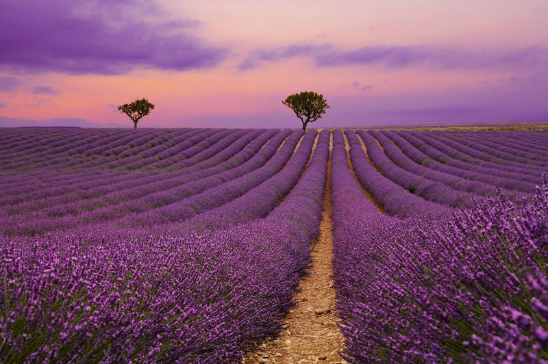 Scenic view of lavender field against sky during sunset