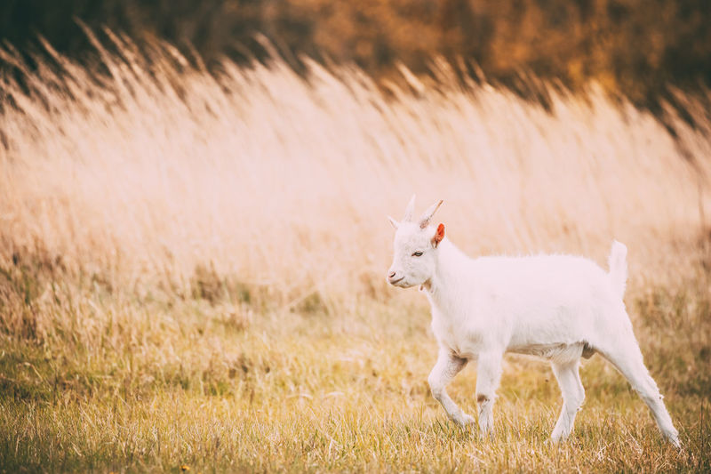 Kid Goat Grazes In Spring Grass. Farm Baby Animals. Agriculture Animal Cute Day Farm Field Funny Goat Grass Grazing Horns Meadow Nature Park Pasture Pet Rural Small Spring Summer White Young Kid