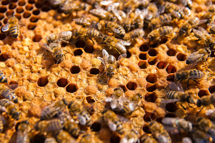 Animal Animal Themes Animal Wildlife Animals In The Wild APIculture Backgrounds Beauty In Nature Bee Beehive Brown Close-up Full Frame Group Of Animals Honeycomb Insect Invertebrate Large Group Of Animals Nature No People Selective Focus