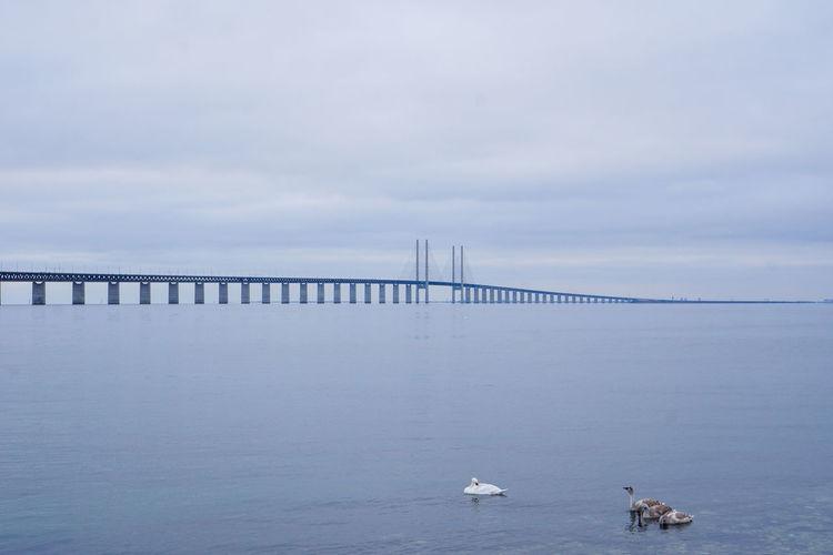 Ducks swimming in front of the Öresund bridge againsy the grey sky