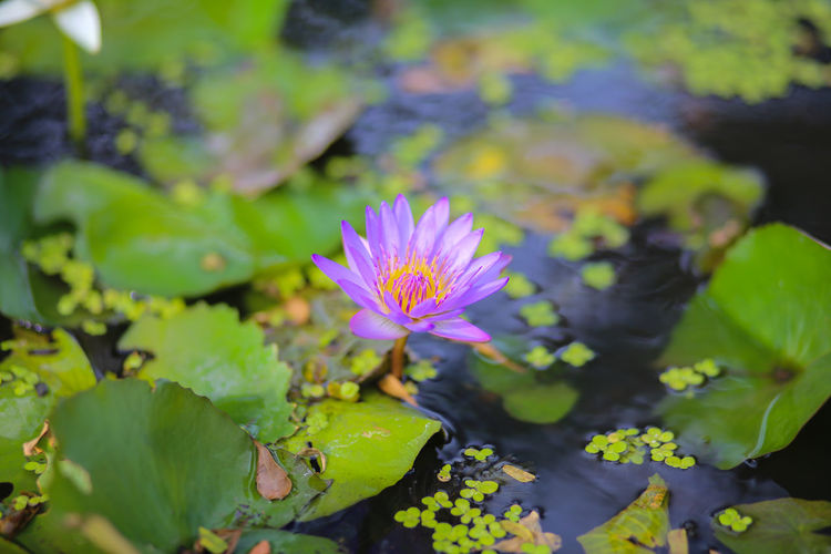 Flower Flowering Plant Freshness Plant Beauty In Nature Vulnerability  Water Lily Growth Fragility Leaf Plant Part Water Petal Pond Close-up Flower Head Nature Inflorescence Floating On Water Lotus Water Lily No People Pink Color Outdoors Purple Pollen