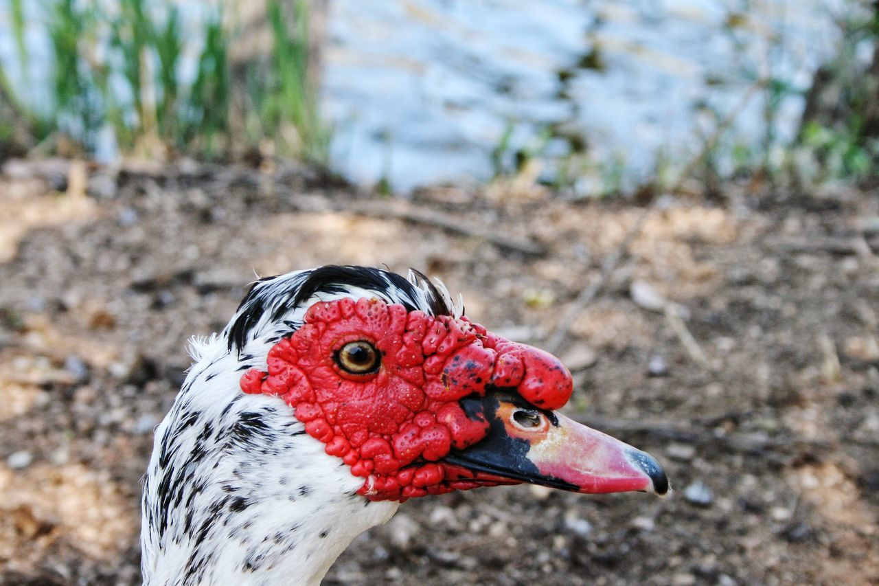 bird, muscovy duck, one animal, focus on foreground, animal themes, duck, close-up, beak, red, animals in the wild, day, outdoors, nature, no people