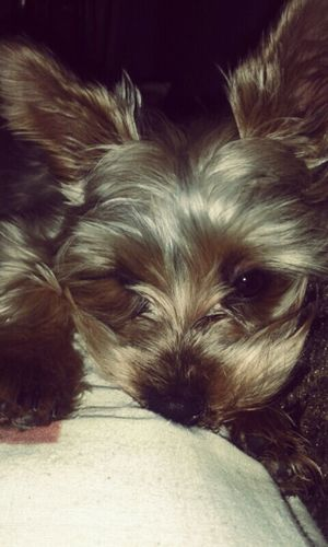 Night Mydog♡ Yorkshire Terrier Love ♥