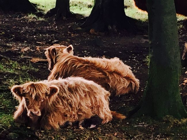 Domestic Animals Mammal Animal Themes No People Nature Beauty In Nature Outdoors Nature Cows Highland Cattle Quantocks