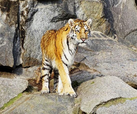 Tiger Tiger Cat Feline Animal Themes Animal Animal Portrait Animal Photography Mammal Nature Beauty In Nature