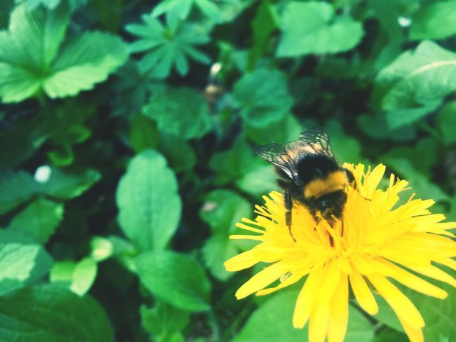Flower Nature Beauty In Nature Insect Yellow Animal Wildlife EyeEm Best Edits Eye4photography  Animal Themes Animals In The Wild EyeEm Nature Lover EyeEm Gallery One Animal EyeEm Best Shots Nature Plant Löwenzahn Humble-bee