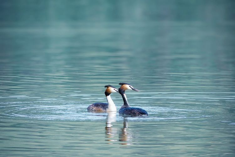 Togetherness Great Crested Grebe Animal Wildlife Bird Photography Birds Bird Watching Quiet Moments Backgrounds Background Mountain Lake Haubentaucher Peace And Quiet Peaceful Togetherness Animal Themes Animals In The Wild Nature Idyllic Tranquil Scene Scenics - Nature Bird Water Swimming Lake Waterfront Duck Water Bird Freshwater Bird Swimming Animal Wild Animal Calm