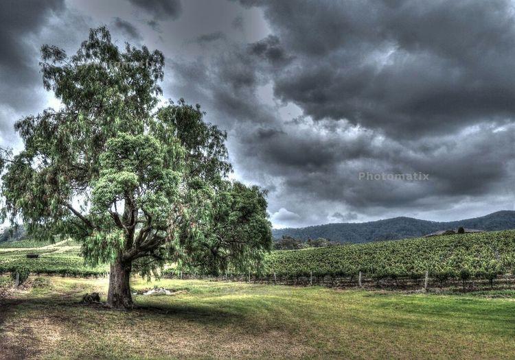 Nature Landscape Tree HDR Countryside Vinyard