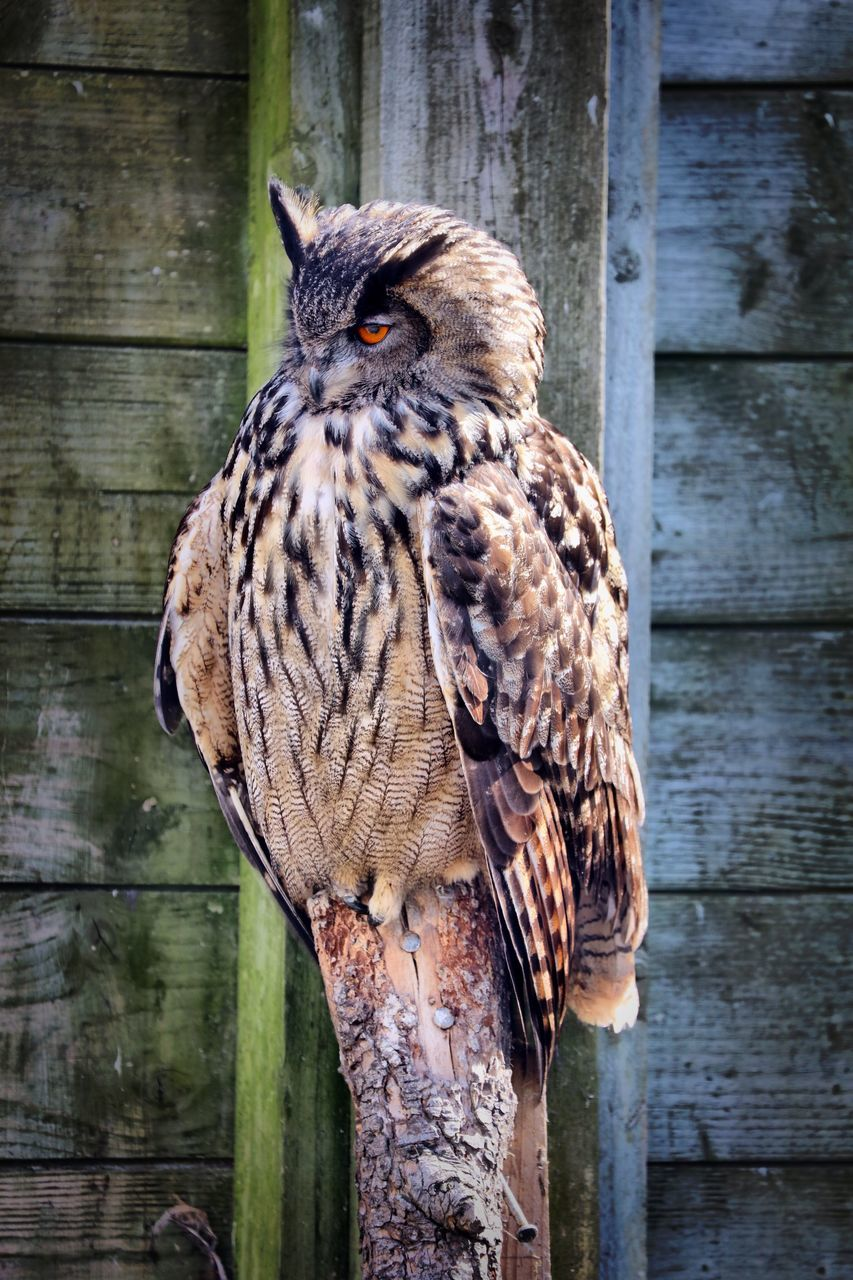 one animal, bird, animal wildlife, animals in the wild, perching, animal themes, focus on foreground, day, wood - material, no people, close-up, outdoors, portrait, looking at camera, nature, wooden post, beak, bird of prey, full length, owl, beauty in nature, mammal