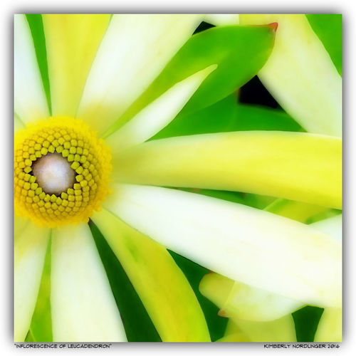 Blooming Close-up Conebush Flora Flower Flower Head Inflorescence Leucadendron Nature Simplicity