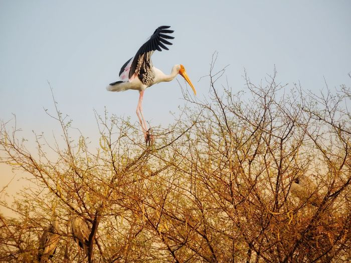 Landing, Painted Stork Nature_collection Birds Bird Photography Birds_collection Birds Of EyeEm  Naturephotography Nature Beauty EyeEm Nature Lover EyeEm Gallery EyeEm Best Shots - Nature Bird In Flight EyeEm Best Shots EyeEm Selects EyeEm Best Edits Eyeem Market EyeEm Animal Lover Bird Of Prey Bird Spread Wings Flying Clear Sky Sky Stork Flapping Freshwater Bird Swimming Animal Bird Nest White Stork