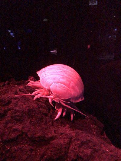Bathynomus giganteus in SUMIDA aquarium Animal Themes One Animal Sea Life Underwater No People Animals In The Wild Nature Close-up Aquarium UnderSea Indoors  Day Bathynomus Giganteus EyeEmNewHere