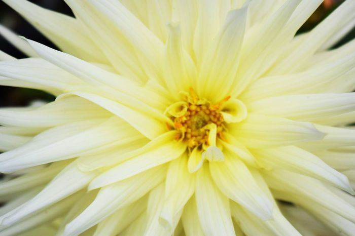 Backgrounds Blooming Close-up Flower Flower Head Full Frame Growth Nature No People Pollen Yellow White Flower