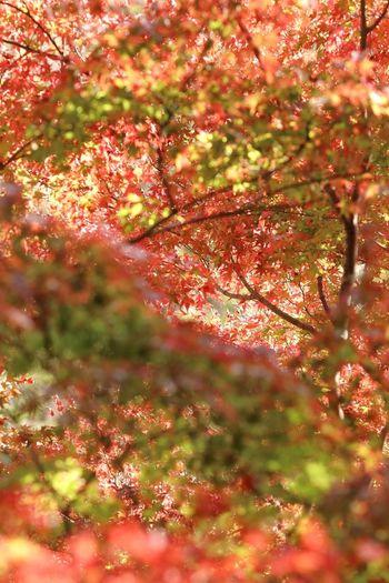 EyeEm Nature Lover EyeEm Gallery EyeEm Best Shots - Nature Japan Japan Photography 日本 Red Color 風景 紅葉 もみじ Tree Branch Flower Autumn Backgrounds Full Frame Leaf Sunlight Springtime Close-up