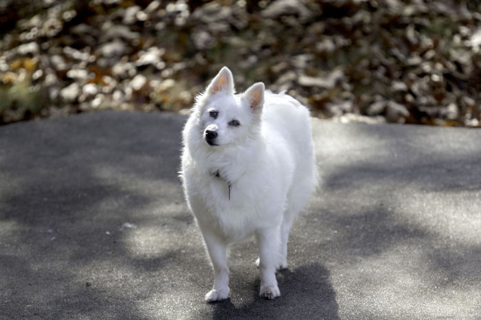An american eskimo dog looks at the camera and poses for a portrait. American Eskimo Animal Themes Day Dog Domestic Animals Fall Full Length Looking At Camera Mammal Nature No People One Animal Outdoors Pets Portrait White Dog