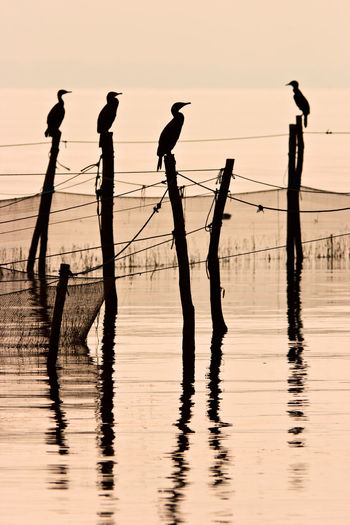 Great cormorant resting after fishing