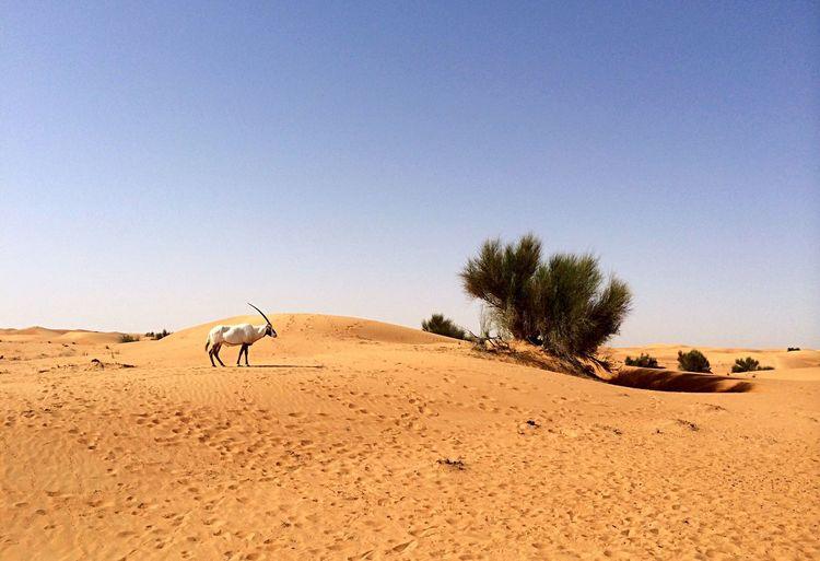 Arabian oryx in desert against clear sky