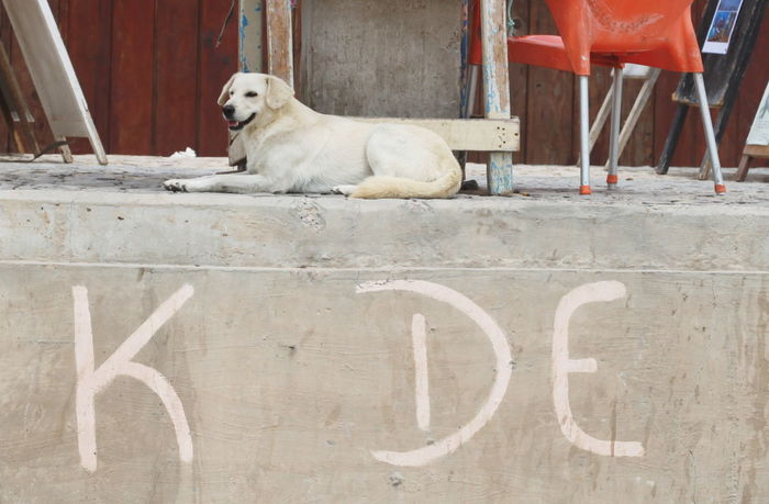 Animal Themes Capo Verde Chair Day Dog Domestic Animals Grey Wall No People One Animal Outdoors Sal Island Santa Maria Summer 2015 Text