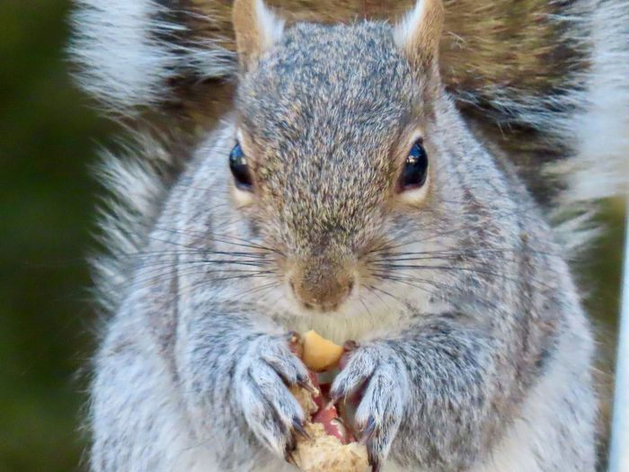 Squirrel eating a peanut closeup facing camera focus on the foreground animal themes EyeEm nature lover One Animal Animal Wildlife Rodent Front View No People