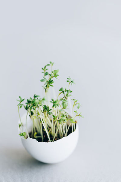 Vegan Easter, fresh micro-green with egg shell on a gray background Easter Background Close-up Concept Egg Flower Fragility Freshness Gray Growth Indoors  Microgreens Nature No People Plant Shell Vegan