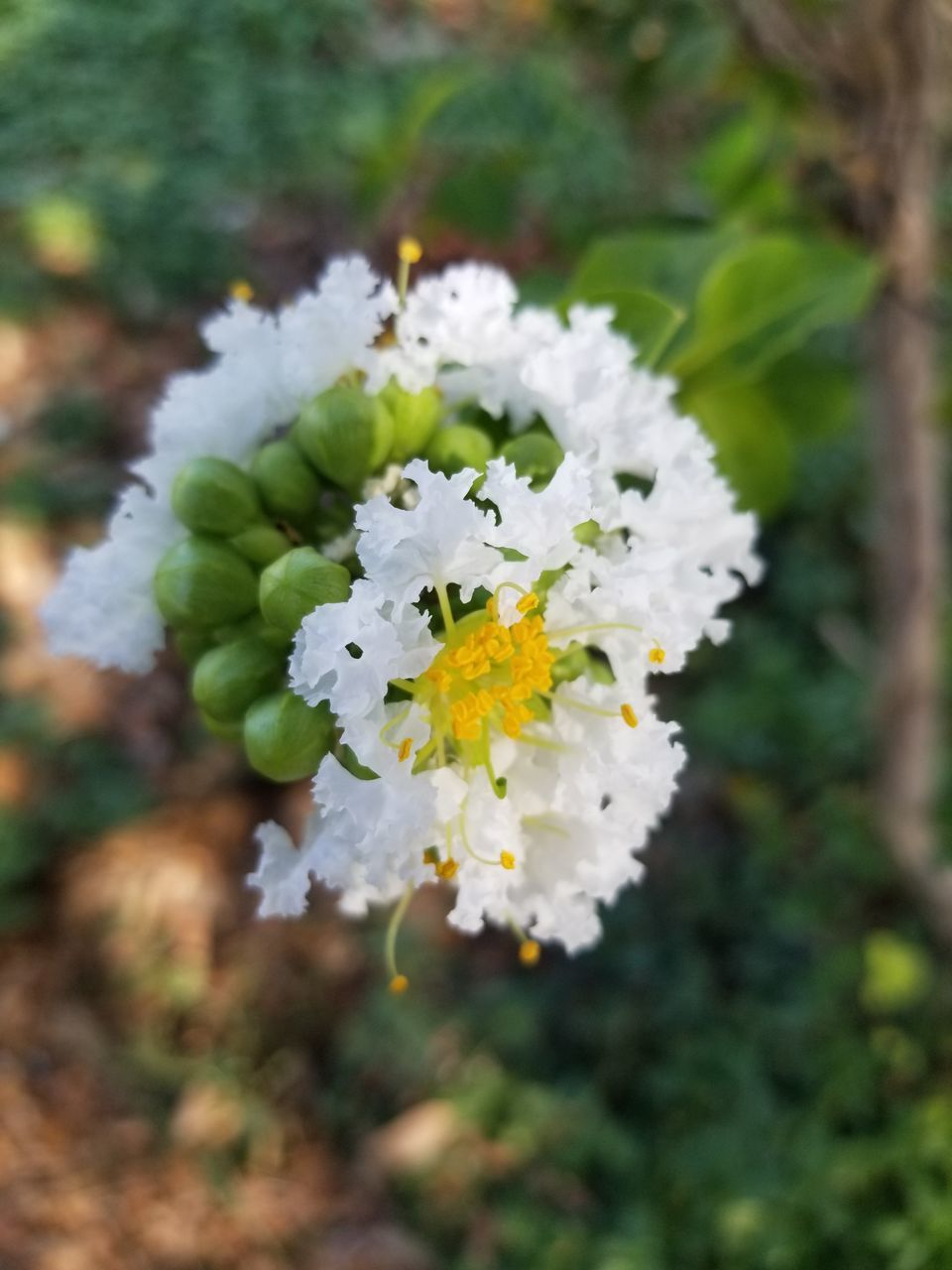 plant, flower, growth, beauty in nature, freshness, flowering plant, vulnerability, fragility, close-up, nature, white color, day, focus on foreground, flower head, petal, selective focus, no people, inflorescence, outdoors, green color, pollen, cherry blossom