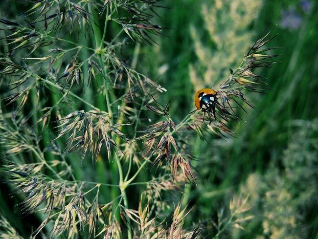 Taking Photos Ladybug Ladybug🐞 Ladybug Collection Ladybugmacro Ladybugs Photography Beauty In Nature Nature_collection Summer Nature Green Summertime Macro Beautifulnature Simple Moment Macro Nature Macro Photography Beautiful Nature Nature Photography Naturephotography Bug Bugslifebug Naturelovers