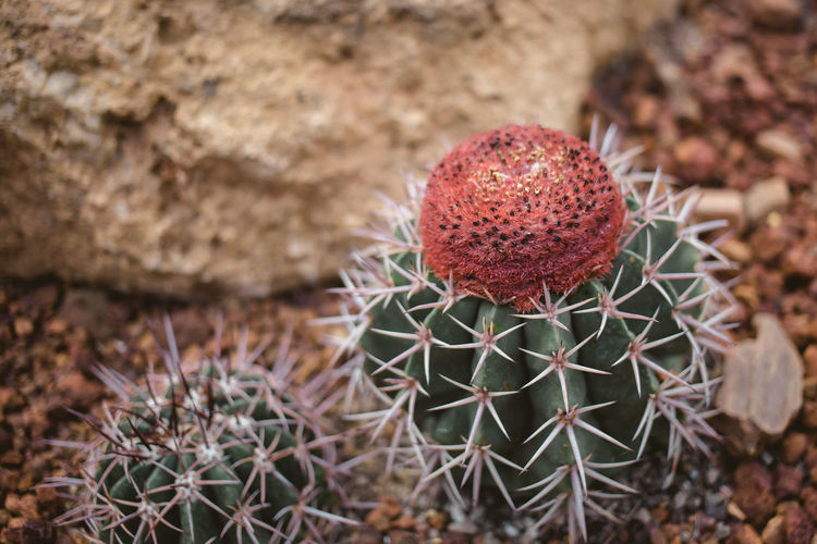 Arid Climate Barrel Cactus Beauty In Nature Cactus Climate Close-up Day Focus On Foreground Growth High Angle View Land Nature No People Outdoors Plant Prickly Pear Cactus Sharp Sign Spiked Spiky Succulent Plant Thorn Warning Sign