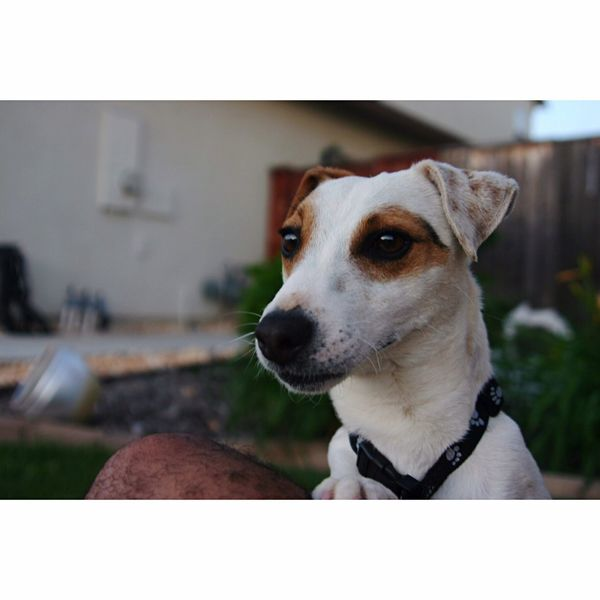 Kiko the dog Dog Jackrussell Dogs