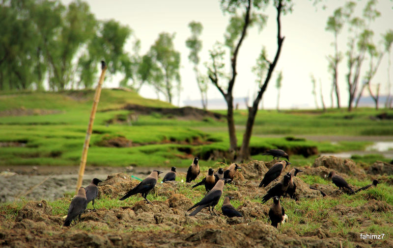 Crows On Grassy Field