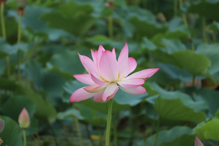 Lotus Mansbal