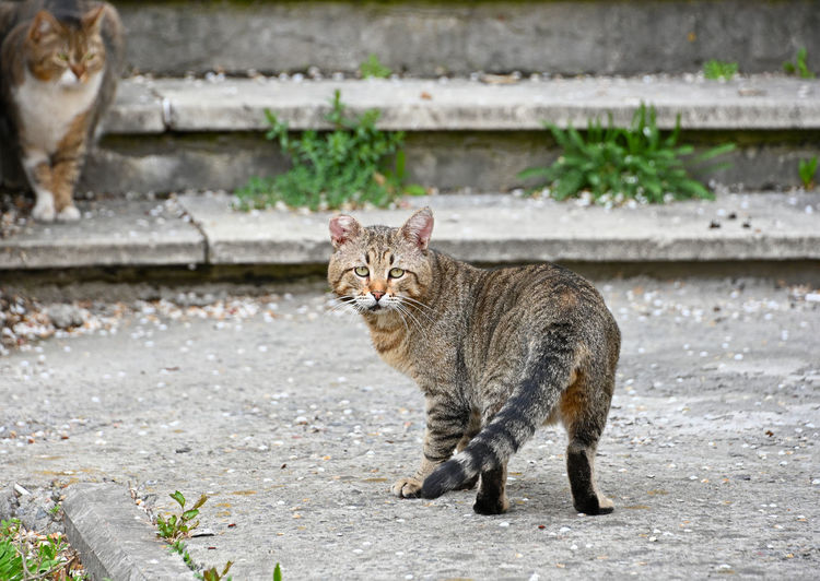 Two domestic cats on concrete staircase, looking at camera Mammal One Animal Nature No People Domestic Animals Pets Day Domestic Outdoors Domestic Cat Cat Feline Looking At Camera Portrait Side View Focus On Foreground Full Length Whisker Tabby Alertness Animal Behavior Stairs Staircase