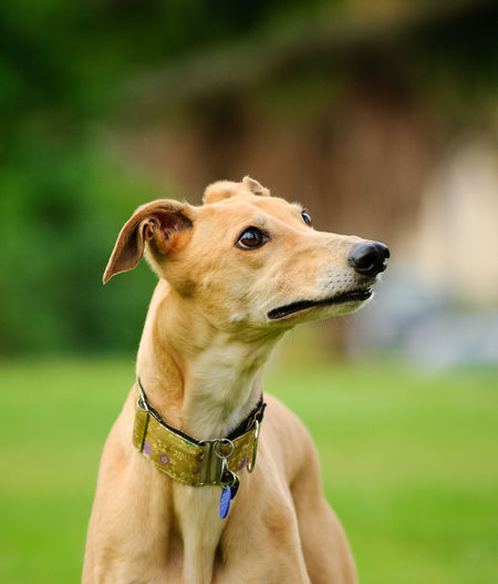 Greyhound dog outdoor portrait One Animal Dog Domestic Animals Canine Pets Animal Themes Animal Collar Pet Collar Looking Away Close-up No People Day Animal Head  Snout Greyhound Hound Purebred Dog Honey