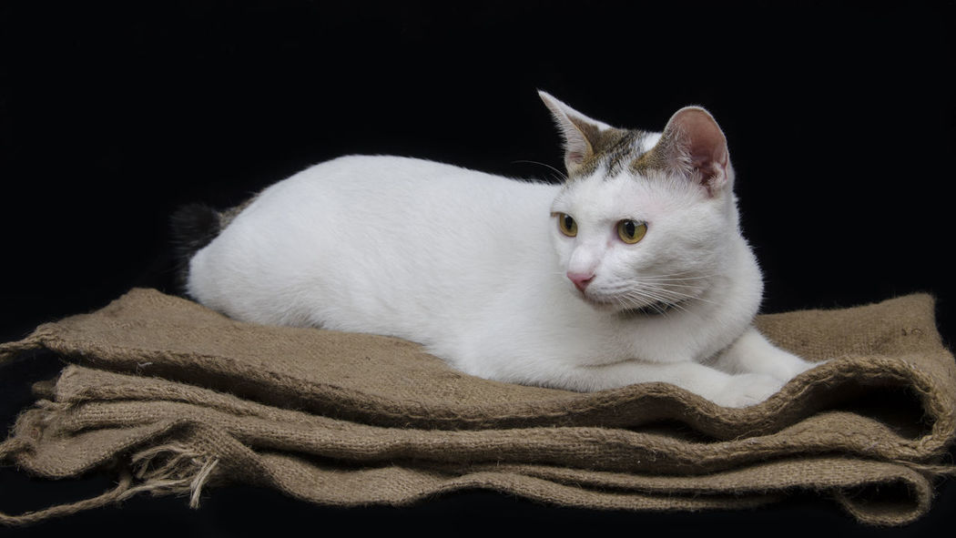 White cat on sackcloth with black background Animal Themes Black Burlap Cat Cat Lovers Cat♡ Cute Cute Cats Cute Pets Domestic Animals Gunny Indoors  Isolated Life Mammal One Animal Pets Portrait Relaxation Sackcloth Whisker White