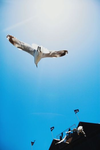 Fly high, freedom. White Birds Soar Pigeon Blue Sky And Clouds Flying Sunny Day Perfect Shot White Pigeon Freedom Kailis Boat Harbour Perth Showcase: July