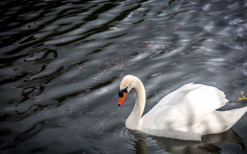 High angle view of mute swan swimming in lake