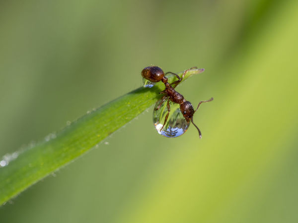 European fire ant on a water drop, Myrmica rubra Animal Themes Animal Wildlife Animals In The Wild Beauty In Nature Close-up Day Fragility Green Color Growth Insect Ladybug Leaf Nature No People One Animal Outdoors Plant