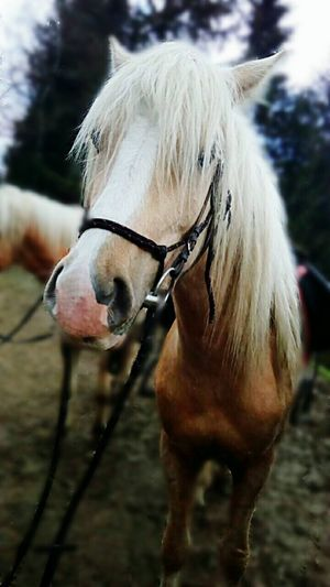 Horse Domestic Animals One Animal Animal Themes Livestock Blond Hair Portrait Outdoors Day No People Beauty