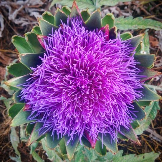 Purple Flower Beauty In Nature Fragility Nature Flower Head Growth No People Freshness Plant Day Outdoors Close-up Thistle Flowers Flower Fiore Fiori Viola Purple