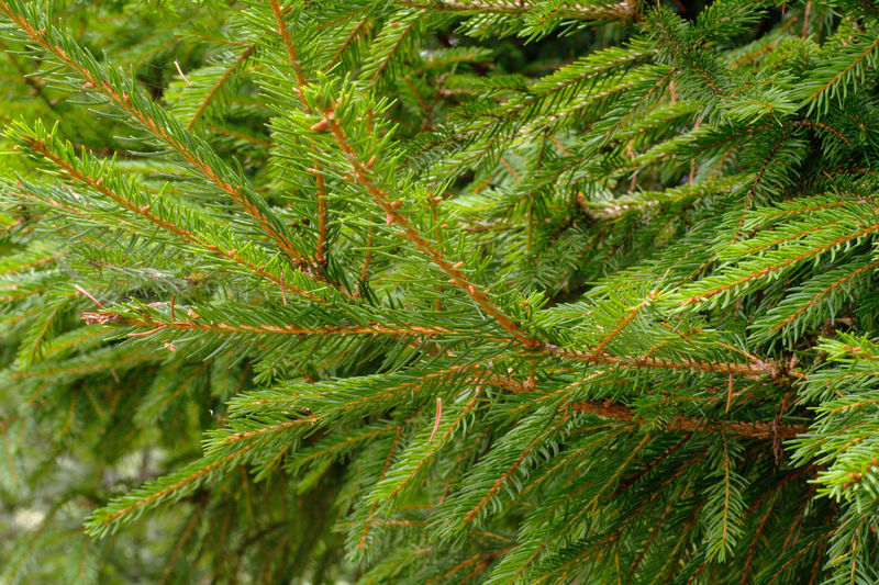 Close-up of pine tree