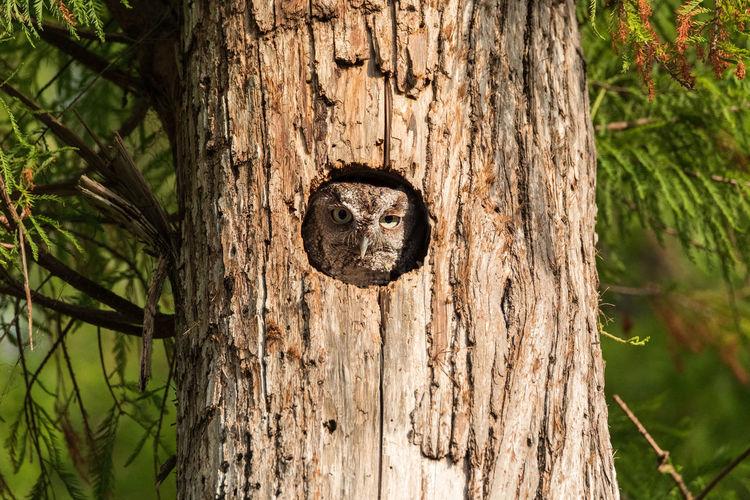 Perched inside a pine tree, an Eastern screech owl Megascops asio peers out from the nest hole on Marco Island, Florida Megascops Asio Owl Bird Raptor Bird Of Prey Tree Nest In Tree Nest Nesting Pine Tree Eastern Screech Owl Screech Owl Funny Grumpy Hiding Florida Wildlife Nesting Birds